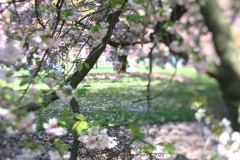 Cherry-blossom-festival-brooklyn-botanical-garden